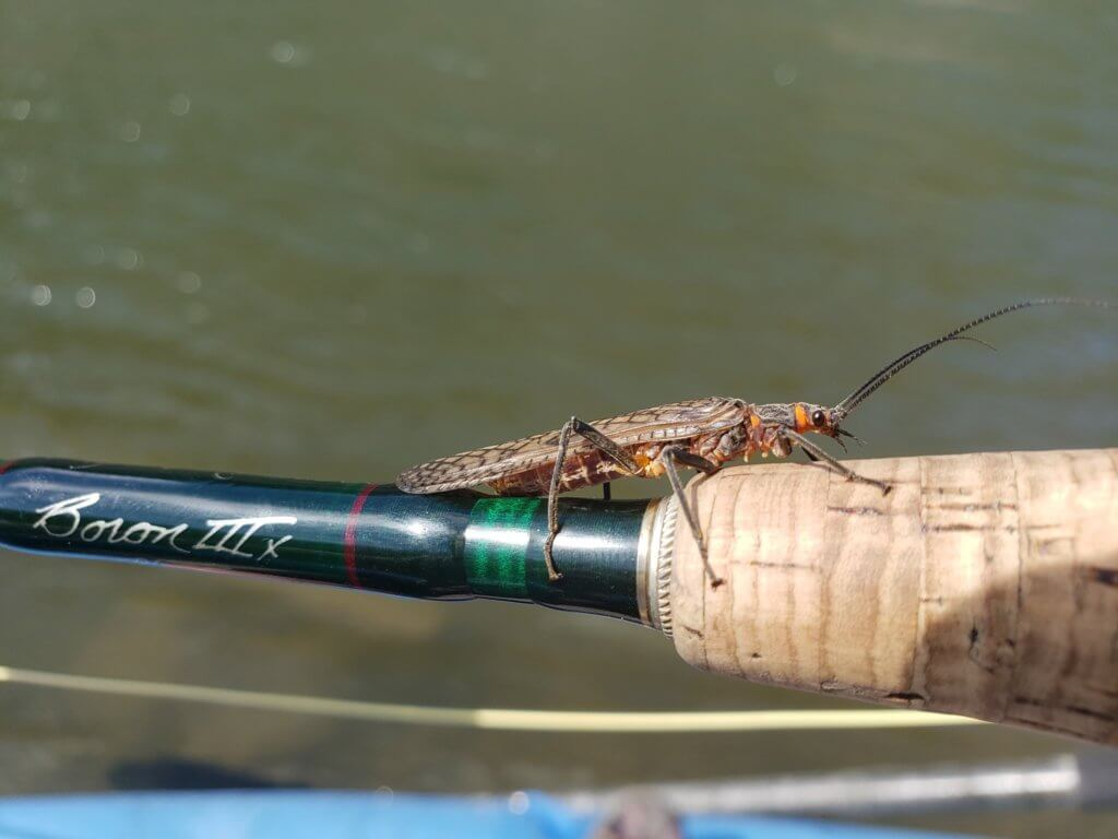 Salmon Fly Hatch In Montana